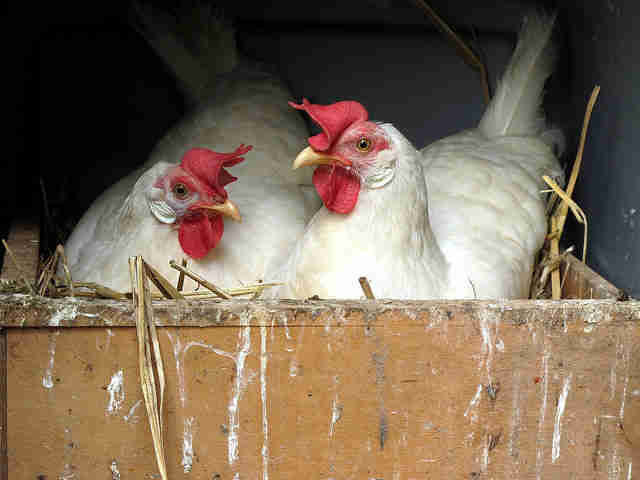 Laying Hens in Nestbox